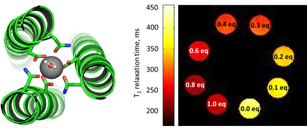 graphic illustrating De Novo Design of Ln(III) Coiled Coils for Imaging Applications