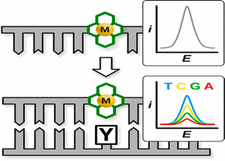 graphic illustrating Macrocyclic Metal Complex−DNA Conjugates for Electrochemical Sensing of Single Nucleobase Changes in DNA