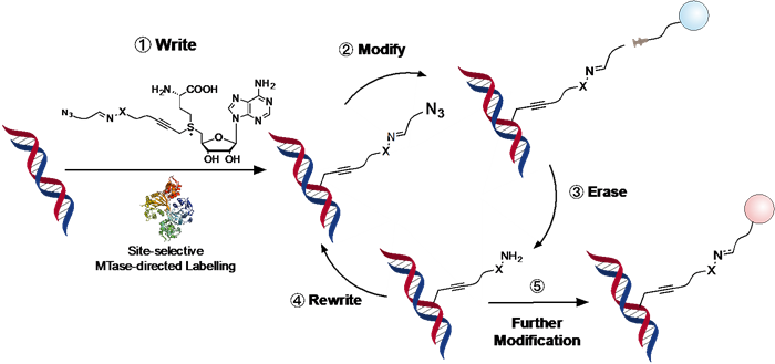 Illustration showing Site-selective and Re-writable Labeling of DNA through Enzymatic, Reversible and Click Chemistries