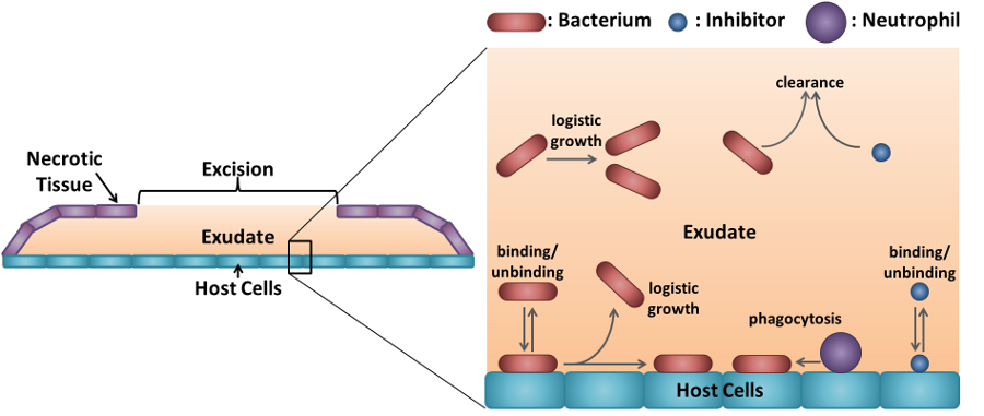 Diagram showing how anti-adhesion therapy combats bacterial colonisation of burn wounds