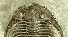 spiny-trilobite-Cropped-235x130