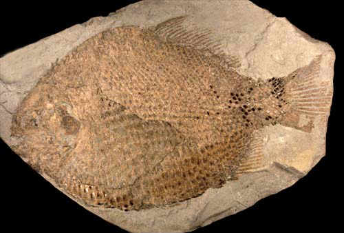 Ray-finned fish