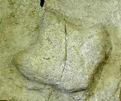 Iguanadon footprint