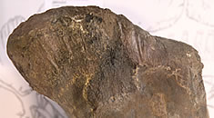 object of the month; Sauropod femur