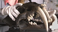 object of the month; smilodon