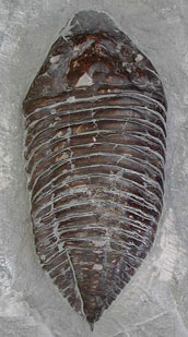 Trilobite from Dudley