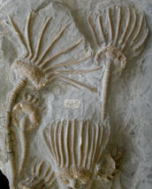 Crinoid fossil from the Wenlock Limestone