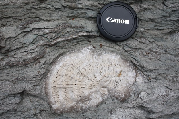 ordovician-coral-in-reef-carbonates