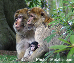 Barbary macaques at Trentham Estate