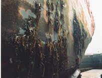 Ship hull fouled by brown and green algae (seaweeds)