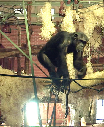 a chimpanzee at Twycross explores its enclosure after modifications guided by the EDT