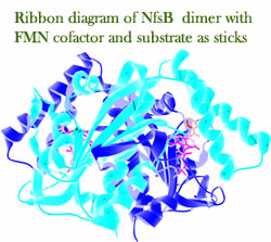 Dr Eva Hyde research - Ribbon diagram of NfsB dimer