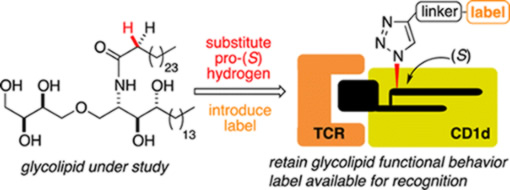 Synthetic glycolipids for binding at the TCR-CD1d interface