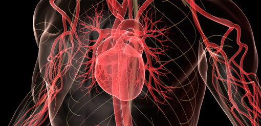 Human brain and heart - cardiovascular, respiratory and neurological sciences research