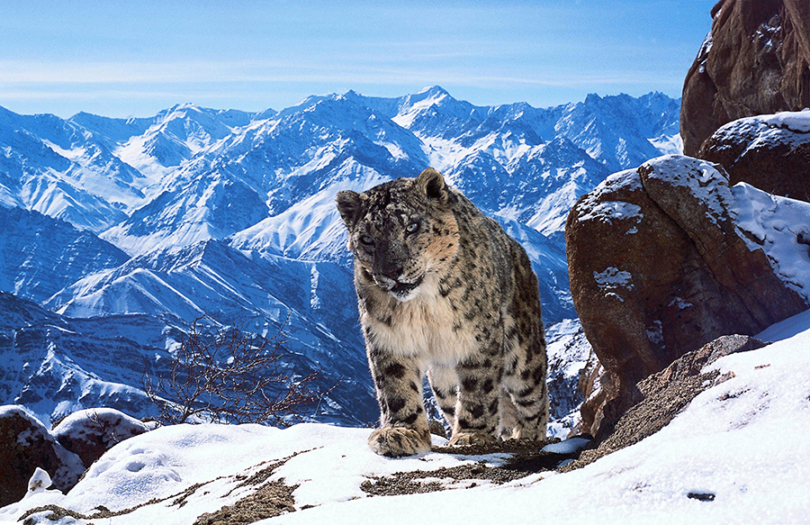 planet-earth-snow-leopard-900px