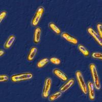 C. diff bacteria under microscope