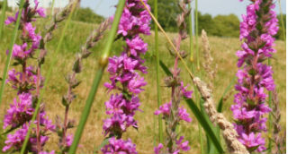 purple-loosestrife-cropped