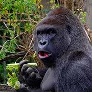 Research suggests that gorillas can develop food cleaning behaviour spontaneously