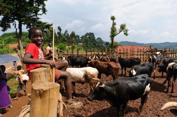 Rwanda_cows_720